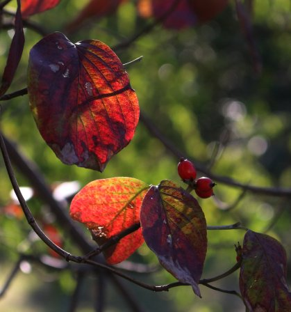 Another photo of autumn dogwood.